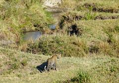 Maasai Mara, Kenya (Ninara31) Tags: maasaimara mara masai kenya wildlife safari leopard africa