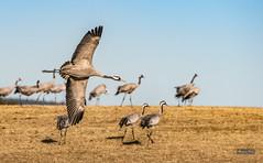 Low flyby at Hornborgasjön (m3dborg) Tags: common cranes tranor trandans hornborgasjön bird birds bif birdsinflight wings dancing flying