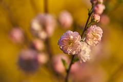 almond blossom time (Blende1.8) Tags: almond almondblossom mandel mandelblüte nature natur garten garden abendsonne closeup macro nahaufnahme blüte blütezeit mandelbaum mandelbäumchen sony sel100400g 100400mm alpha ilce7m3 a7iii a7m3 bokeh