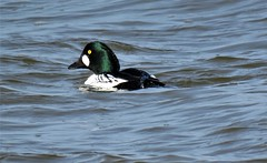 Goldeneye, Drake (marksargeant57) Tags: canonpowershotsx60hs water waterfowl bird waterbird duck framptonmarsh rspbframptonmarsh goldeneye