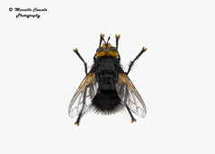 Tachina grossa (Linnaeus, 1758) ♂ (Marcello Consolo) Tags: taxonomy:kingdom=animalia animalia taxonomy:phylum=arthropoda arthropoda taxonomy:subphylum=hexapoda hexapoda taxonomy:class=insecta insecta taxonomy:subclass=pterygota pterygota taxonomy:order=diptera diptera taxonomy:suborder=brachycera brachycera taxonomy:infraorder=cyclorrhapha cyclorrhapha taxonomy:zoosection=schizophora schizophora taxonomy:zoosubsection=calyptratae calyptratae taxonomy:superfamily=oestroidea oestroidea taxonomy:family=tachinidae tachinidae taxonomy:subfamily=tachininae tachininae taxonomy:tribe=tachinini tachinini taxonomy:genus=tachina tachina taxonomy:species=grossa taxonomy:binomial=tachinagrossa kuklicenejvětší kæmpefluenharald tachinagrossa taxonomy:common=kuklicenejvětší taxonomy:common=kæmpefluenharald