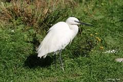 Aigrette garzette (Passion Animaux & Photos) Tags: aigrette garzette little egret parc animalier saintecroix