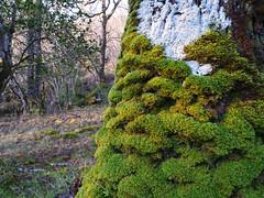 Moss & lichen on oak, Glasdrum National Nature Reserve (Niall Corbet) Tags: scotland argyll glasdrum nationalnaturereserve nnr moss green