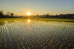 Northern Rice Field (fredMin) Tags: touit zeiss xt2 fuji landscape asia chiangrai travel ricefield sunset thailand