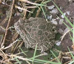 Great Plains Toad (Anaxyrus cognatus Say) 08-09-2008 Willcox--Lake Cochise and Twin Lakes Golf Course, Cochise Co. AZ 1 (Birder20714) Tags: amphibians arizona toads amphibia bufonidae anaxyrus cognatus