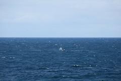 IMG_0201 (y.awanohara) Tags: humpbacks humpbackwhales whales whale southgeorgia scotiasea january2019 wildlife cetacean