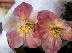 L'hellébore sous la neige (mrieffly) Tags: fleursdeprintemps photorapprochée alsace htrhin hautesvosges geishouse neige canoneos50d 100400issériel