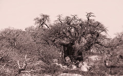 The Baobab Twist _5663 (hkoons) Tags: kubuisland kukomeisland lakemakgadikgadi lekhubuisland makgadikgadipan nationalpark nxaipannationalpark nxaipan southernafrica suapan africa baobab botswana sowa sua tree ancient arbor bloom blossom branch branches bud buds canopy color flora flower green growth large leaf leaves limb limbs old outdoors pan panorama roots soil stem sun sunshine trees trunk