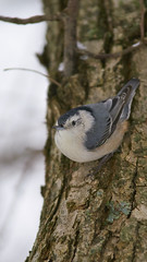 White Breasted Nuthatch (Valley Imagery) Tags: nature bird small tree white breasted nuthatch sony a99ii tamron 70200 leonardtown maryland usa
