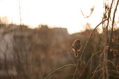 冬の京都 03 (sunuq) Tags: japan 日本 canon eos 5dsr ペッツバール ロモグラフィ lomography zenit petzval ボケ bokeh 先斗町 ショウビタキ 野鳥 bird