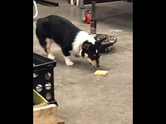 Trying to pick up that dang piece of wood - Cute Dogs (tipiboogor1984) Tags: aww cute cat funny dog youtube