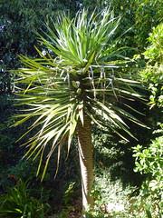 Dragon Tree (Proteus_XYZ) Tags: southafrica südafrika westerncape overberg swellendam dragontree garden garten