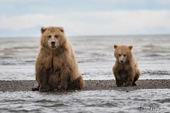 _HB31201 (Hilary Bralove) Tags: lakeclarknationalparkbrownbearsbearsalaskanikonwildlifegrizzlygrizzlybearbrownbearanimalswildlifephotographer alaksa brownbears grizzlybears bear bears grizzly brownbeargrizzly bearlake clarkwildlifealaska wildlifenikonlake clark national park