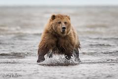 _HB31086 (Hilary Bralove) Tags: lakeclarknationalparkbrownbearsbearsalaskanikonwildlifegrizzlygrizzlybearbrownbearanimalswildlifephotographer alaksa brownbears grizzlybears bear bears grizzly brownbeargrizzly bearlake clarkwildlifealaska wildlifenikonlake clark national park