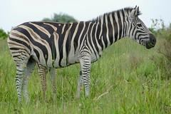 Burchell's Zebras (Equus quagga burchellii) mare and foal ... (berniedup) Tags: burchellszebra equusquaggaburchellii isimangaliso zebra taxonomy:trinomial=equusquaggaburchellii equusquagga taxonomy:binomial=equusquagga