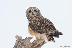 who,who, me? (Earl Reinink) Tags: bird owl stump winter nature wildlife animal shortearedowl outdoors ontario earlreinink tree tiodaudoa