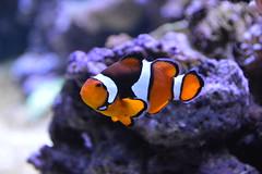 Clownfish (Amphiprioninae) (Seventh Heaven Photography) Tags: clownfish clown fish anemonefish anemone amphiprioninae pomacentridae orange white water aquarium nikond3200 chester zoo cheshire england