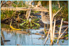 Snipe Drinking (www.andystuthridgenatureimages.co.uk) Tags: snipe wader water lake wetland marsh uk somersetlevels greylake rspb drinking drink scoop reeds river