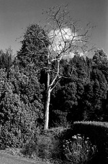 Standing out, standing tall (Richie Rue) Tags: trees garden ripley castle outdoors bare 35mm film fomafomapan200 analogue nikonf90 champion promicrol monochrome blackandwhite fineart