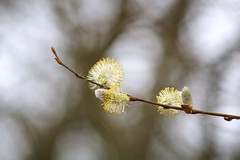 March branch (ekaterina alexander) Tags: march branch willow tree branches catkins salix flower buds spring england sussex trees ekaterina alexander nature photography pictures