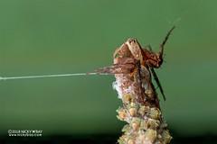 Lynx spider (Hamataliwa sp.) - DSC_3796 (nickybay) Tags: singapore admiraltypark macro hamataliwa lynx spider oxyopidae babies spiderlings eggsac