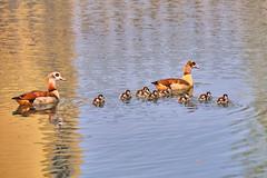 All together (flowerikka) Tags: animal family frühling gänse gänsefamilie geese golden gooses mirror pond season spiegelungen spring teich wasser water