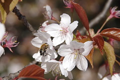 Springtime 蜂と春 (runslikethewind83) Tags: japan sakura bee nature tokyo life cherry blossom flower 桜 花 春 自然 蜂 spring