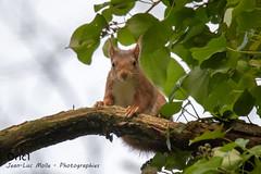 Écureuil roux (Oric1) Tags: wildlife nature breizh france eos oric1 squirrel côtesdarmor roux jeanlucmolle canon écureuil 22 bretagne brittany armorique red