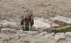 Brown Snake Eagle (Circaetus cinereus) coming to drink ... (berniedup) Tags: kransbrak nossob kgalagaditransfrontierpark brownsnakeeagle circaetuscinereus snakeeagle taxonomy:binomial=circaetuscinereus kgalagadi