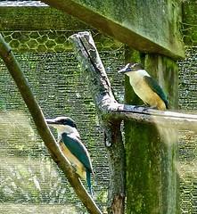 Kingfishers, Otorohanga Kiwi House, North Island, New Zealand (susiefleckney) Tags: kingfishers otorohangakiwihouse northisland newzealand todiramphussanctus sacredkingfisher