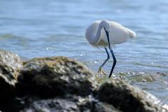 Little Egret2 (kalbasz) Tags: little egret fuert fuerteventura spain nauture sea fuji xt2 xf55200