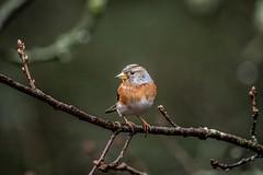 Brambling (_John Hikins) Tags: brambling devon d500 dartmoor sigma animal wildlife woods yarner bird birds branch nikon nikkor nature 150600mm 150600c 150600 bokeh