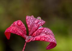 2/19/19. (Omygodtom) Tags: red macro water raindrop tamron90mm tamron d7100 dof bokeh lowkey usgs oregon outside nature nikon nikkor flora