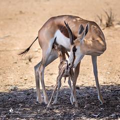 Springbock (petraherdlitschke) Tags: africa animals antilope wildlife canon kgalagadi