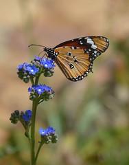 African Monarch Butterfly Kirstenbosch Gardens DSC_2871 (peterleanranger) Tags: danaus chrysippus danauschrysippus nymphalidae lepidoptera insect africanmonarch plaintiger africanqueen kirstenboschgardnes capetown africa southafrica anchusacapensis summerforgetmenot capeforgetmenot
