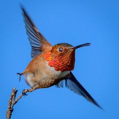 OK, maybe just one more hummingbird photo? (halladaybill) Tags: allenshummingbird sanjoaquinwildlifesanctuary orangecounty california seaandsageaudubonsociety auduboncalifornia cornelllabofornithology nikkor200500zoom nikond850