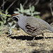 Male California quail (Callipepla californica)