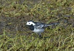 Motacilla alba yarrellii (Rouwkwikstaart / Pied wagtail) (Bas Kers (NL)) Tags: mrt 2019 schipluiden zuidholland netherlands europe