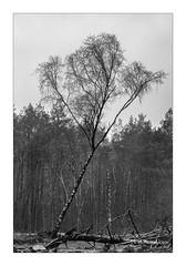 Crooked birch. (PvRFotografie) Tags: nederland holland nature natuur blackandwhite blackwhite boom bomen tree trees birch berk bos forrest monochrome zwartwit sonyilca99m2 sony70200mmf28g 200mm