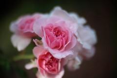 Bonica    SOM Berthiot Cinor   1:1.5  F=40 M/M (情事針寸II) Tags: クローズアップ 自然 花 薔薇園 薔薇 projectionlens bokeh pink closeup nature fleur flower rosegarden rose somberthiotcinor115f40mm