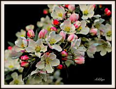 Coming soon to an Apple tree near you (clickclique) Tags: flower flowers blossom apple tree pink white yellow nature red