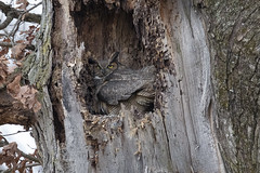 Great Horned Owl (player_pleasure) Tags: greathornedowl owl nesting offspring nature nest tree cavity feathers bird birdsofprey