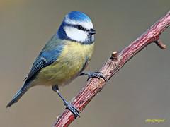 Herrerillo común  (Cyanistes caeruleus) (22) (eb3alfmiguel) Tags: aves pájaros insectívoros passeriformes paridae herrerillo común cyanistes caeruleus