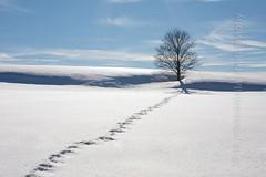 Single tree with tracks in snow (photo-aquila) Tags: photoaquila tree single snow schnee track trace spur winter wintertime white weis cold kalt bavaria bayern germany deutschland