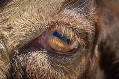 Goat eye (maytag97) Tags: maytag97 nikon d750 eye goat nature farm cute animal head mammal pupil macro close portrait closeup look fur face outdoor rural iris eyelash