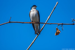 2019.04.04.1315 Tree Swallow I (Brunswick Forge) Tags: 2019 virginia grouped bird birds animal animalportraits outdoor outdoors sky air wildlife nature spring day clear afternoon nikond750 nikkor200500mm fx botetourtcounty animals favorited commented greenfield cherryblossomtrail