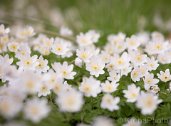 Anemones, Norway (KronaPhoto) Tags: blomster natur anemones hvitveis flowers carpet dof bokeh norway spring nature