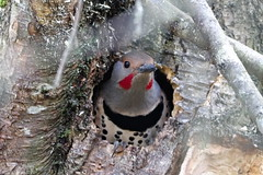 Red-Shafted Northern Flicker (Kevin Krebs) Tags: vancouver eastvancouver troutlake johnhendrypark bird redshaftednorthernflicker