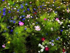 Wildflowers (klauslang99) Tags: klauslang spring wildflowers flowers color colour blooming
