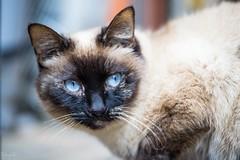 猫さん a cat (takapata) Tags: sony sel90m28g ilce7m2 neko cat 猫さん gato